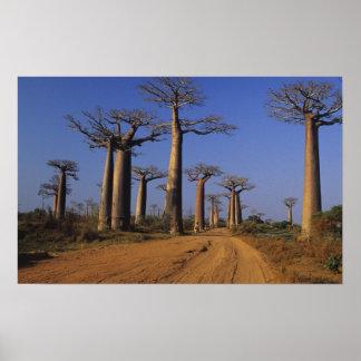 Africa, Madagascar, Morondava, Baobab Avenue. Poster