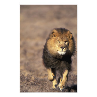 Africa. Male African Lion Panthera leo) Photo Art