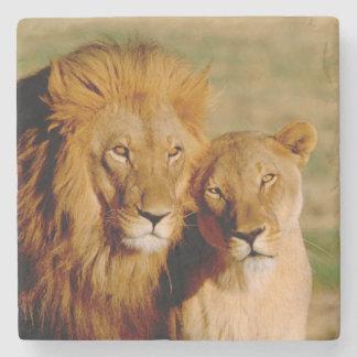 Africa, Namibia, Okonjima. Lion & lioness Stone Coaster