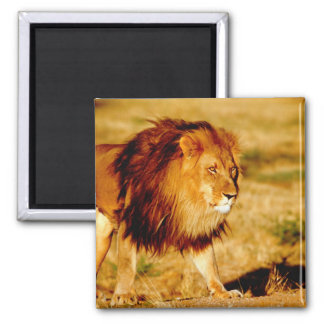 Africa, Namibia, Okonjima. Lone male lion. Square Magnet