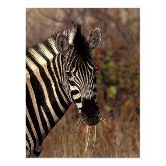Africa, South Africa, Kruger NP Zebra portrait Postcard