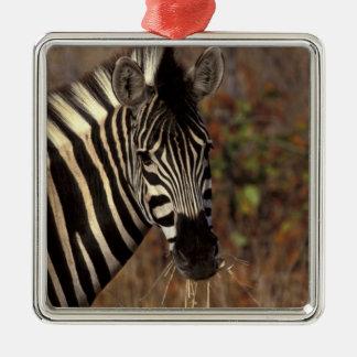 Africa, South Africa, Kruger NP Zebra portrait Silver-Colored Square Decoration