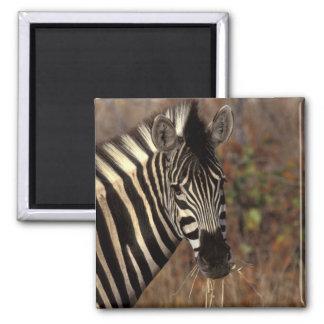 Africa, South Africa, Kruger NP Zebra portrait Square Magnet