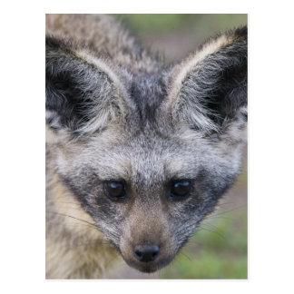 Africa. Tanzania. Bat-Eared Fox at Ndutu in the Postcard