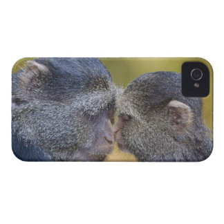 Africa. Tanzania. Blue Monkey mother with young iPhone 4 Case