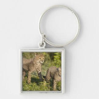 Africa. Tanzania. Cheetah cubs at Ndutu in the Key Chain