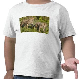 Africa. Tanzania. Cheetah cubs at Ndutu in the Shirt
