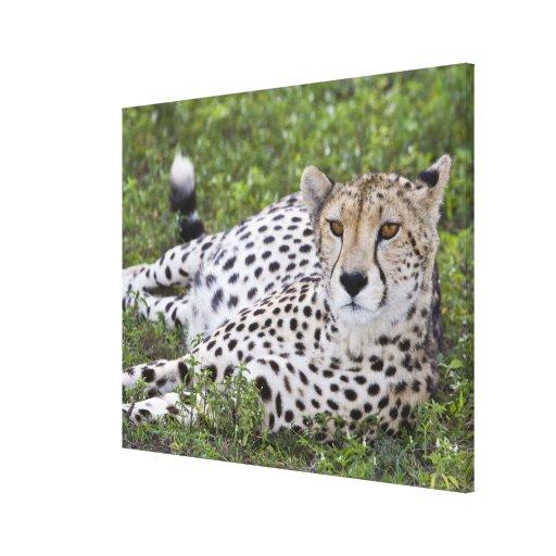 Africa. Tanzania. Female Cheetah at Ndutu in the Gallery Wrap Canvas
