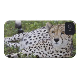 Africa Tanzania Female Cheetah at Ndutu in the Blackberry Bold Cover