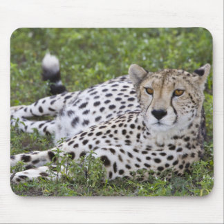 Africa. Tanzania. Female Cheetah at Ndutu in the Mouse Pad