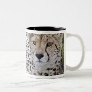 Africa. Tanzania. Female Cheetah at Ndutu in the Coffee Mugs