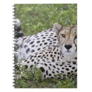 Africa. Tanzania. Female Cheetah at Ndutu in the Note Book