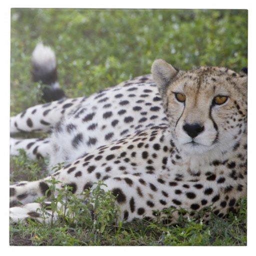 Africa. Tanzania. Female Cheetah at Ndutu in the Ceramic Tile