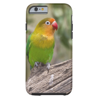 Africa. Tanzania. Fischer's Lovebird at Ndutu in Tough iPhone 6 Case
