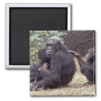 Africa, Tanzania, Gombe NP Infant female Square Magnet