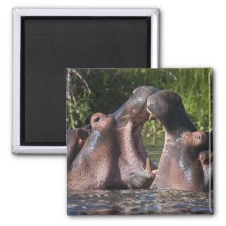 Africa. Tanzania. Hippopotamus sparring at the Square Magnet