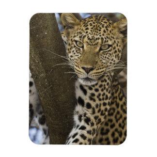 Africa. Tanzania. Leopard in tree at Serengeti Magnet