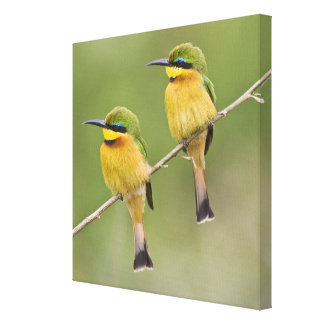 Africa. Tanzania. Little Bee Eaters at Manyara Stretched Canvas Print
