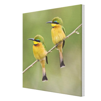 Africa. Tanzania. Little Bee Eaters at Manyara Gallery Wrapped Canvas