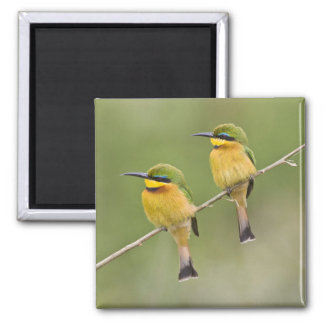 Africa. Tanzania. Little Bee Eaters at Manyara Magnets