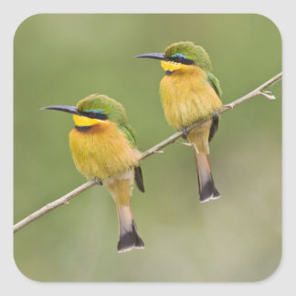 Africa. Tanzania. Little Bee Eaters at Manyara Square Sticker
