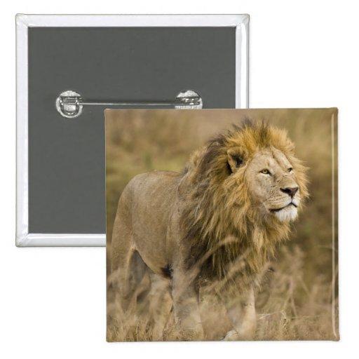 Africa. Tanzania. Male Lion at Ngorongoro Pinback Button