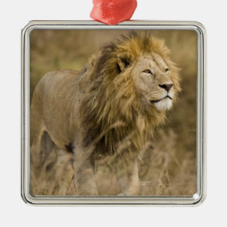 Africa. Tanzania. Male Lion at Ngorongoro Metal Ornament