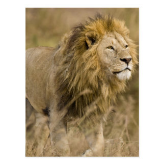 Africa. Tanzania. Male Lion at Ngorongoro Postcard