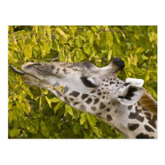 Africa. Tanzania. Masai Giraffe at Tarangire NP. Postcard