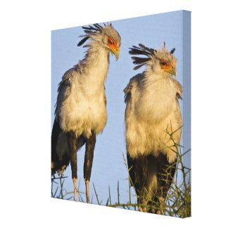 Africa. Tanzania. Secretary Birds at Ndutu in Canvas Print