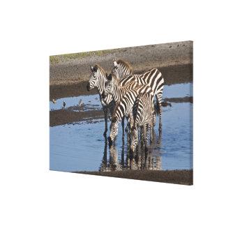Africa. Tanzania. Zebras drinking at Ndutu in Canvas Prints
