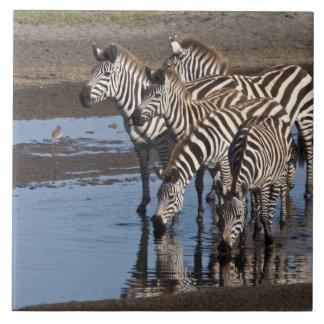 Africa. Tanzania. Zebras drinking at Ndutu in Large Square Tile