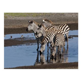 Africa. Tanzania. Zebras drinking at Ndutu in Postcard