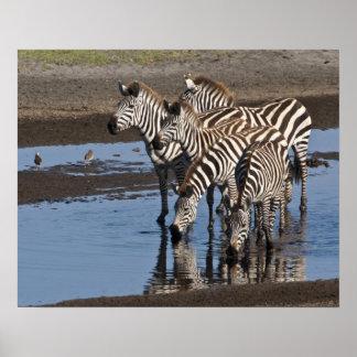 Africa. Tanzania. Zebras drinking at Ndutu in Poster