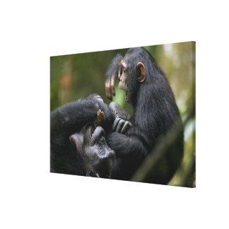 Africa, Uganda, Kibale Forest Reserve, Juvenile Canvas Prints
