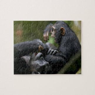 Africa, Uganda, Kibale Forest Reserve, Juvenile Puzzle