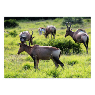 African Antelope on Safari in South Africa Business Card Templates