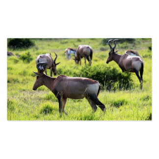 African Antelope on Safari in South Africa Business Card