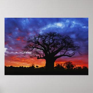 African baobab tree, Adansonia digitata, 2 Poster