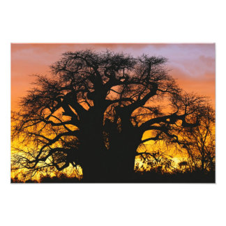 African baobab tree, Adansonia digitata, Photo