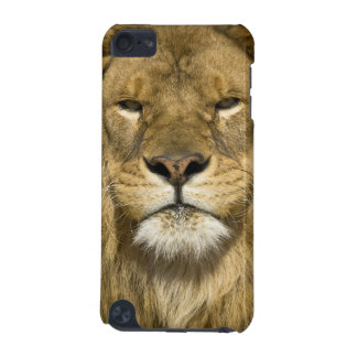 African Barbary Lion, Panthera leo leo, one of iPod Touch (5th Generation) Cover