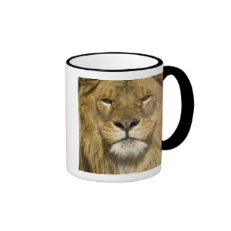 African Barbary Lion Panthera leo leo one of Mugs