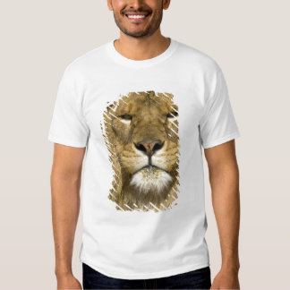 African Barbary Lion, Panthera leo leo, one of Tee Shirts