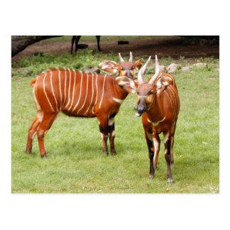african bongo 3 postcard