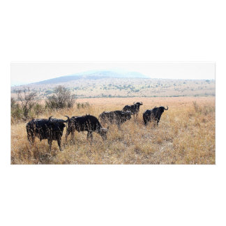 African buffalos in the Masai Mara Photo Card