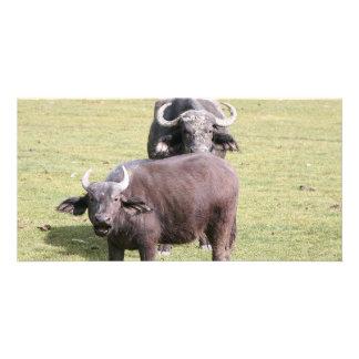 African buffalos photo greeting card