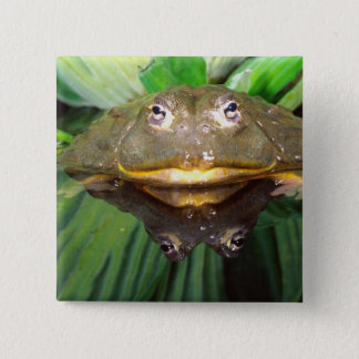 African Burrowing Bullfrog, Pyxicephalus 2 15 Cm Square Badge