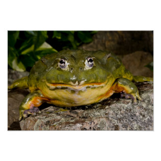 African Burrowing Bullfrog, Pyxicephalus Poster