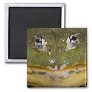 African Burrowing Bullfrog, Pyxicephalus Square Magnet