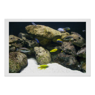 African Cichlids poster